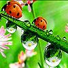 Acrobat ladybird beetles puzzle