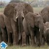African Elephant Herd Jigsaw