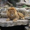 African Lion Slider Puzzle
