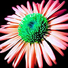 Alone pink marguerite puzzle