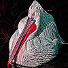 Alone tired pelican slide puzzle