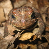 American Toad Jigsaw