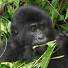 Baby Gorilla Slider Puzzle