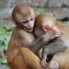 Baby Monkeys Slider Puzzle