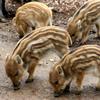 Baby Wild Pigs Slider Puzzle