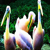 Beautiful  ocean pelicans puzzle