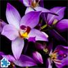 Beautiful Orchids Jigsaw