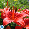 Beautiful Red Lily Jigsaw