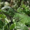 Big green chameleon puzzle