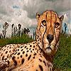 Big head cheetah slide puzzle