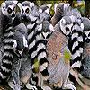 Big lamur family slide puzzle
