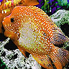 Big orange fish puzzle
