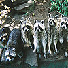 Big raccoon family slide puzzle