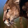 Big wild cat slide puzzle