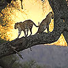 Big wild cats slide puzzle