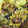 Birds and sunflowers slide puzzle