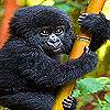 Black baby gorilla slide puzzle
