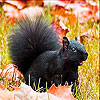Black squirrel slide puzzle