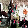 Black swans and lotus puzzle