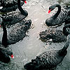 Black swans family slide puzzle