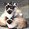 Blue eyed cats slide puzzle