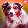 Blue eyes doggie puzzle