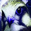 Blue wild hawk puzzle