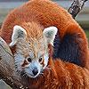Brown raccoon slide puzzle