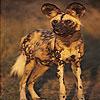 Bucket eared dog slide puzzle