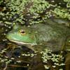 Bullfrog Jigsaw