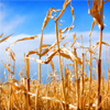 Cereal Crop Jigsaw