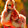 Chicks in the garden slide puzzle