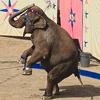 Circus Elephant jigsaw puzzle