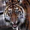 Closeup Tiger