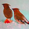 Cold little birds puzzle