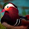 Colorful mandarin ducks puzzle
