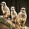 Confused meerkats puzzle