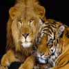 Coupe Tiger and Lion