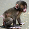 Cute Baby Monkey Puzzle
