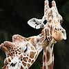 Cute giraffes slide puzzle