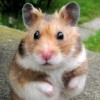 Cute puzzle: hamster