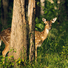 Deer In The Forest Puzzle