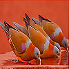 Doves at water basin slide puzzle