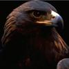 eagle_puzz