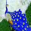 Fantastic blue peacocks puzzle
