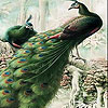 Fantastic peacocks slide puzzle