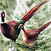 Fantastic pheasants in the farm puzzle