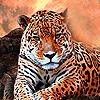 Fatty tiger puzzle