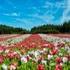 Flower Field Jigsaw