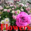 Flowers Hunter 2